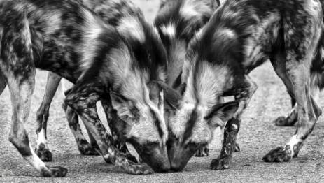 african-wild-dogs-hluhluwe