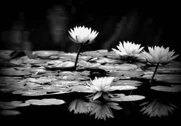 black-and-white-water-lily-jose-medina