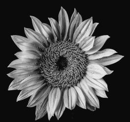 dew-covered-sunflower-in-black-and-white-garry-gay