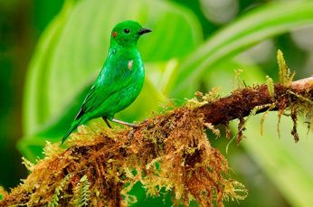 Glistening-green-Tanager