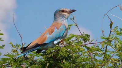 lilac-breasted-roller-1422294_960_720