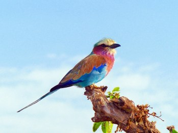 lilac-breasted-roller-818021_960_720