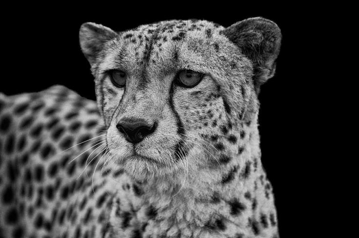 portrait-of-cheetah-in-black-and-white-matthew-gibson
