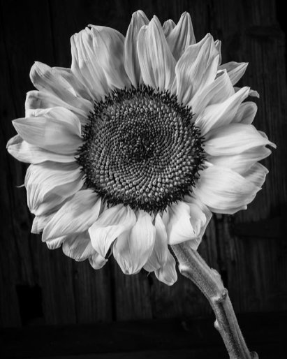 sunflower-black-and-white-garry-gay