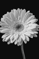wonderful-black-and-white-gerbera-daisy-garry-gay