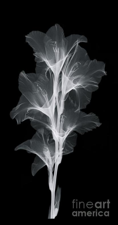 2-x-ray-of-a-gladiola-flower-ted-kinsman