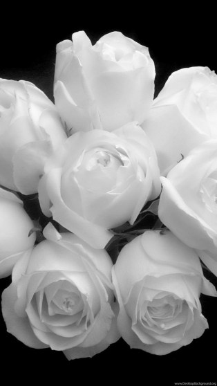 395164_white-rose-wallpapers-hd-3-jpg_2560x1600_h