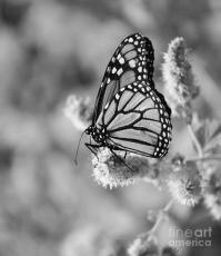 black-and-white-butterfly-colleen-snow
