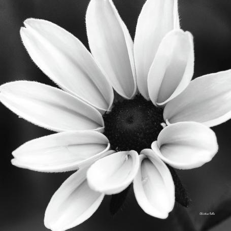 black-and-white-daisy-flower-christina-rollo