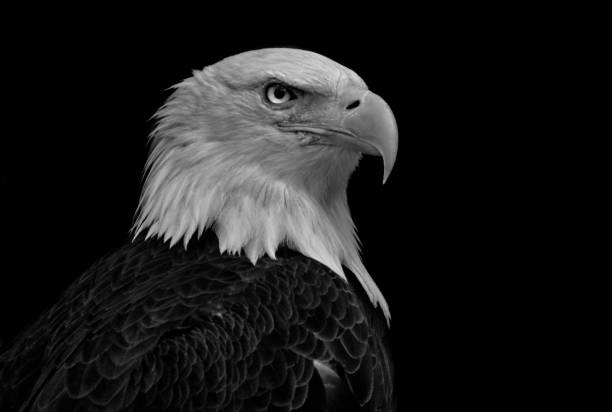 Bald eagle close-up infront of a black background