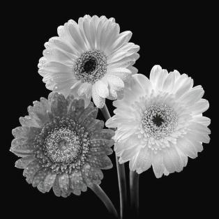 black-and-white-gerbera-daisies-gill-billington