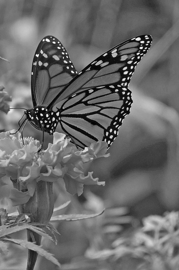 black-and-white-monarch-butterfly-and-marigold-flower-kay-novy