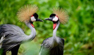 Crested-Crane-birds-in-Uganda