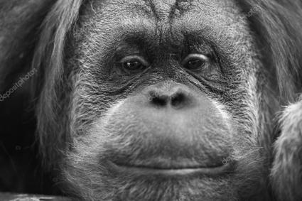 depositphotos_58337773-stock-photo-orangutan-monkey-close-up-portrait