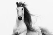 fineart-005-stallionsglory.jpg-nggid041616-ngg0dyn-180x0-00f0w010c010r110f110r010t010
