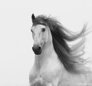 fineart-197-stallionsgloryii.jpg-nggid046612-ngg0dyn-180x0-00f0w010c010r110f110r010t010