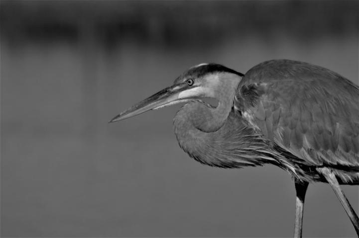great-blue-heron-in-black-and-white-warren-thompson