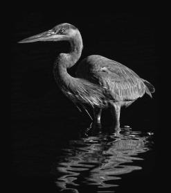 great-blue-heron-wading-bw-hh-photography-of-florida