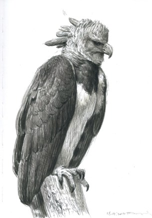 Harpy-egale-18.07.2017