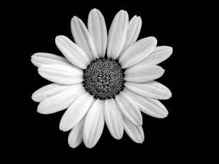 Daisy captured in black and white, isolated on a black background.