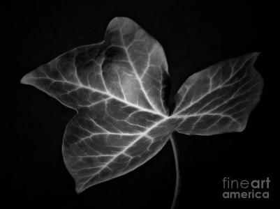 ivy-leaf-i-black-and-white-macro-nature-photograph-artecco-fine-art-photography-photograph-by-nadja-drieling