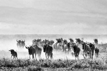 large_Wildebeest_Migration_6