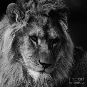 lion-portrait-in-black-and-white-nick-biemans