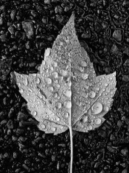 PA237722-leaf-with-raindrops_12dae8ce-732a-4c84-bfcc-c2ee0d08201c_1024x1024
