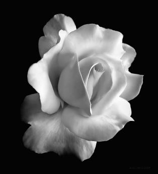 porcelain-rose-flower-black-and-white-jennie-marie-schell