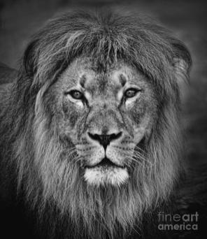 portrait-of-a-male-lion-black-and-white-version-jim-fitzpatrick
