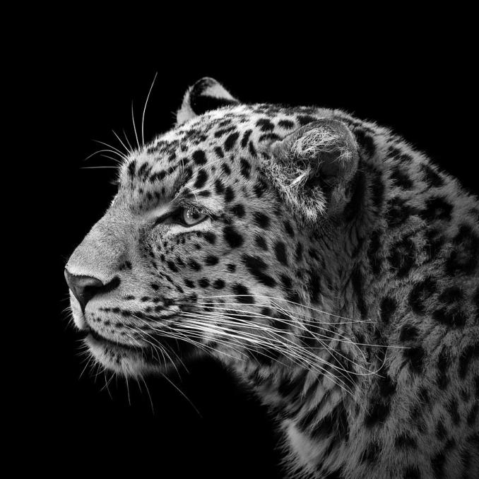 portrait-of-leopard-in-black-and-white-iii-lukas-holas