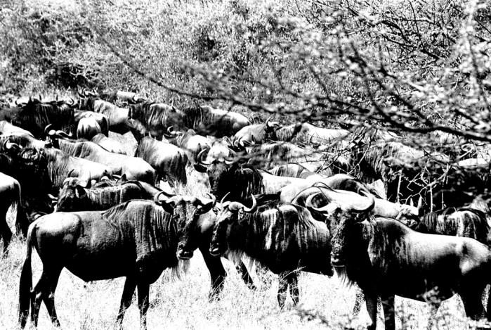 Wildebeest, Serengeti 2016