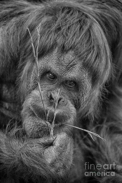 the-orangutan-album-black-and-white-douglas-barnard