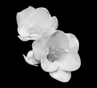 white-freesia-flowers-close-up-black-background-51667563