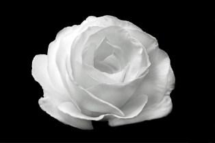 white-rose-on-the-black-background