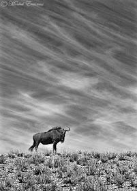 wildebeest_sky_portrait_KTP_2b_B&W