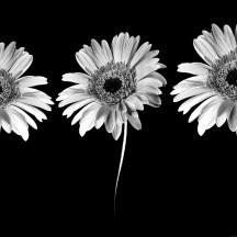 Black-white-Money-flowers-images-wallpaper