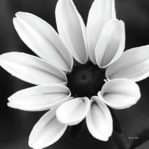 black-and-white-daisy-flower-christina-rollo