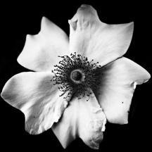 black-and-white-flower-mirko-chessari
