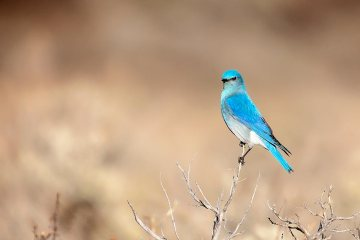 Male-Mountain-Blue-Bird-Grand-Tetons