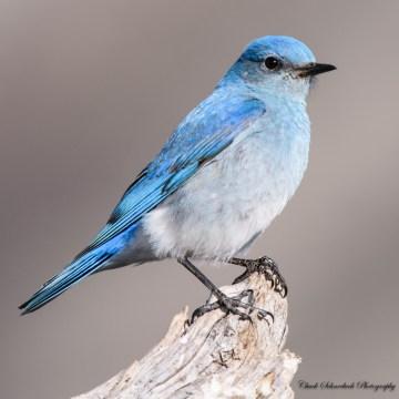 Male-Mt.-Bluebird
