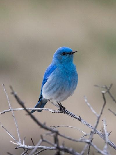 Mountain-Bluebird-12.16