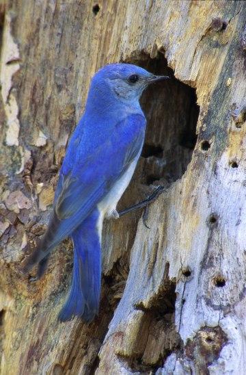 Mountain-Bluebird_Thinkstock