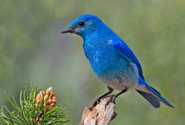 Mountain_Bluebird-e1471593940829