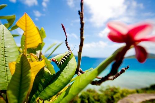 frangipani-worm-romona_robbins (500x333)