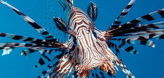 lionfish-invasion-smithsonian