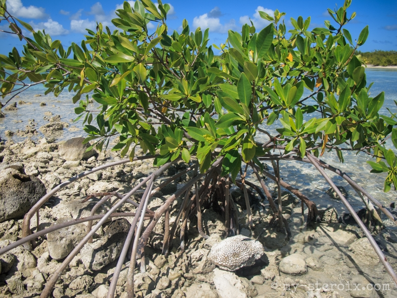 Black Mangrove on Shell Island