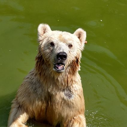 Импортный медведь Напа