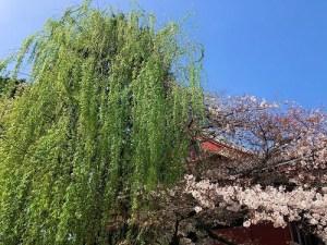 浅草寺と桜、柳、青空