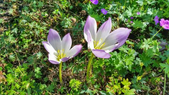 PHOTO: Colchicum 'Antares'.